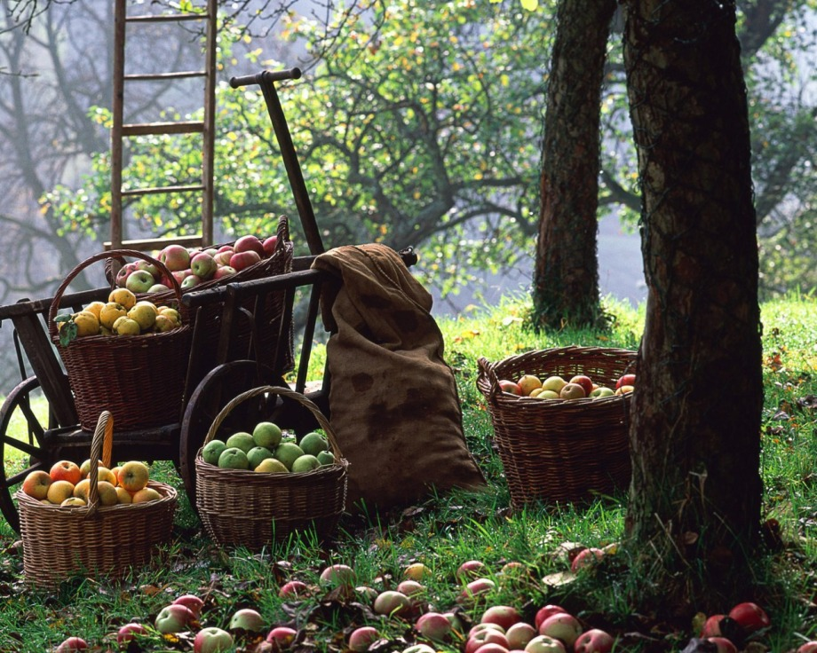 Apples in baskets under a tree